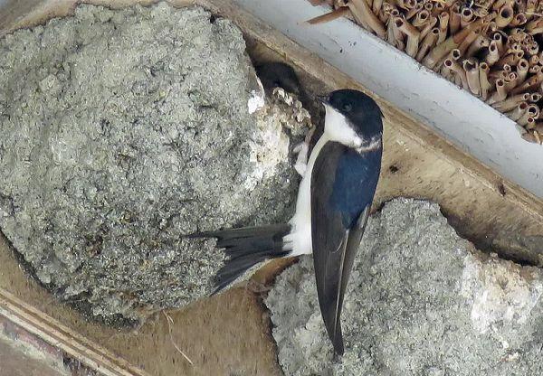 huiszwaluw